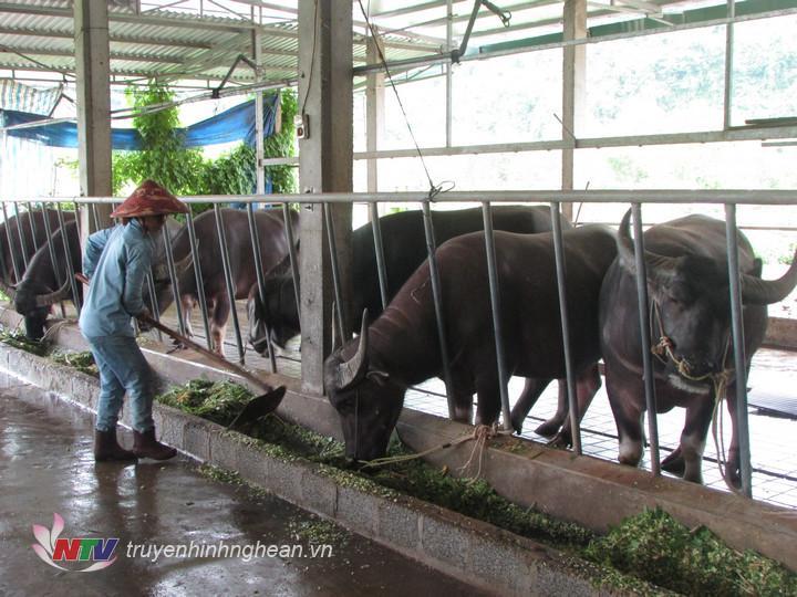 Trang trại chăn nuôi trâu nhốt vỗ béo của gia đình chị Đào Thị Thu Hương xóm Xuân Sơn
