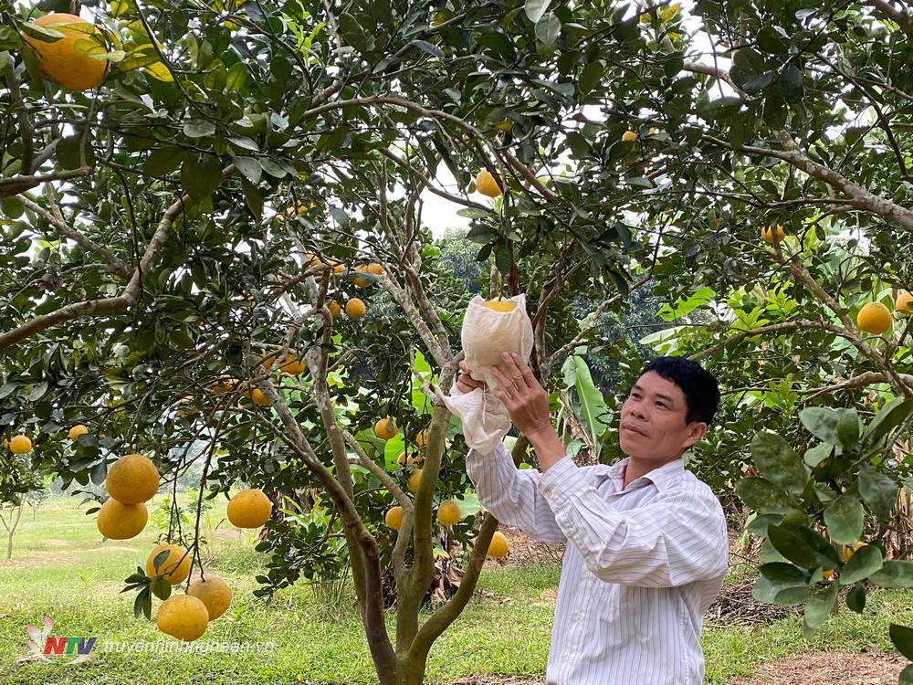Nghệ An: Nông dân trồng 1ha bưởi Diễn bán Tết, lãi hơn 100 triệu/năm