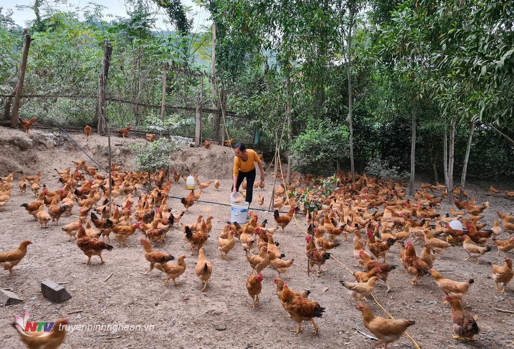 Chị Kha Thị Hương đang tập trung vỗ béo, tăng sức đề kháng để gà đạt trọng lượng theo yêu cầu để xuất bán trong dịp Tết