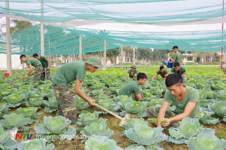 Cán bộ, chiến sĩ Trung đoàn 764 tích cực tặng gia sản xuất, chuẩn bị nguồn rau xanh, nâng cao chất lượng bảo đảm bữa ăn cho bộ đội.