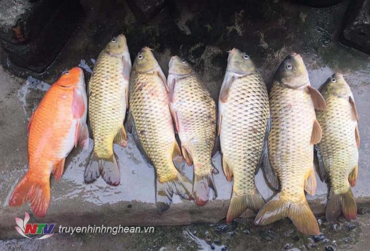 Đây là số cá được ông Lô Thanh Viêng đánh bắt được đêm ngày 29 tháng chạp.