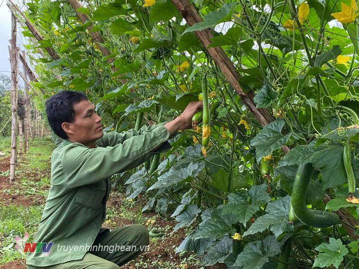 Nông dân Nghĩa Đàn lãi 200 triệu đồng/ha từ trồng bí vụ xuân sớm