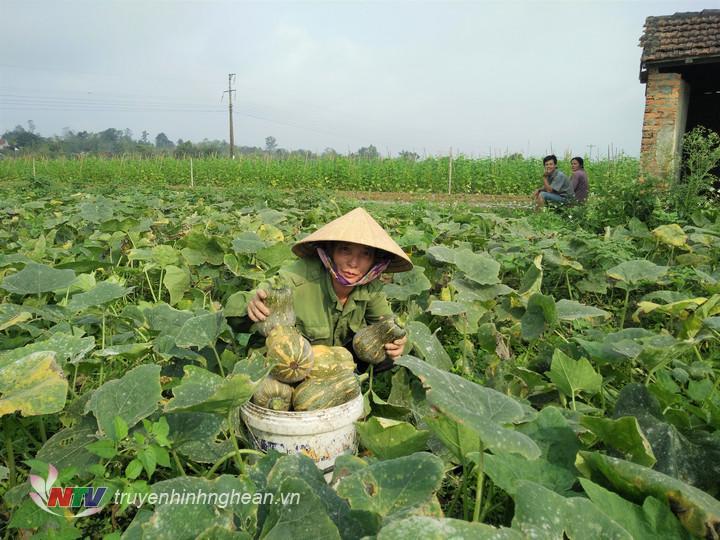 Vụ đông năm nay gia đình chị Nguyễn Thị Toàn, thôn 1/5 xã Cẩm Sơn trồng 3 sào trên đất bãi