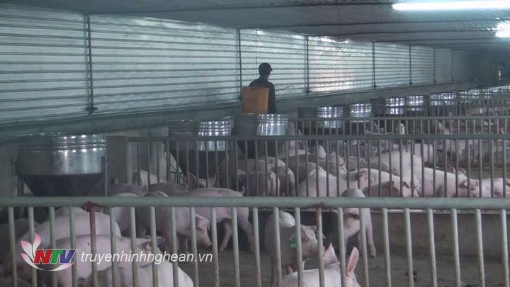 Nghệ An: Xuất hiện ổ dịch tả lợn Châu Phi tại xã Quỳnh Mỹ, Quỳnh Lưu