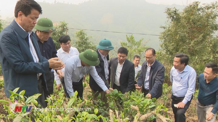 Cũng trong buổi sáng, Chủ tịch UBND tỉnh Thái Thanh Quý đã đi thăm khu vực trồng chè tuyết Shan của người dân bản Huồi Khả, xã Huồi Tụ.