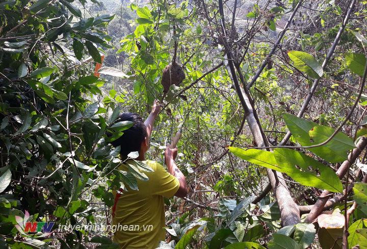2. Kiến được người Thái săn tìm lấy trứng là một loại kiến đen (người Thái gọi là Một Hay, có vùng gọi là Một tì) loại côn trùng sinh sôi và làm tổ trên các ngọn cây ở các cánh rừng nhiệt đới ở các huyện mi
