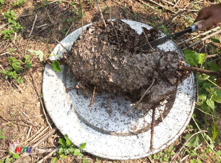 4. Trứng kiến đen rất nhỏ bằng nửa hạt gạo, để có thể  tách trứng trong tổ người dân lấy rổ hặc lấy mâm để hứng từng hạt trứng