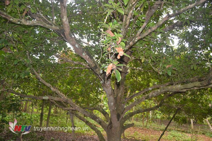 Những cây hồng cổ thụ của gia đình ông Dần.