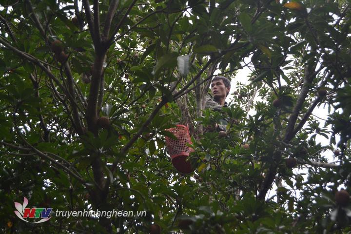 Người dân thôn Khe Tín thu hoạch hồng.