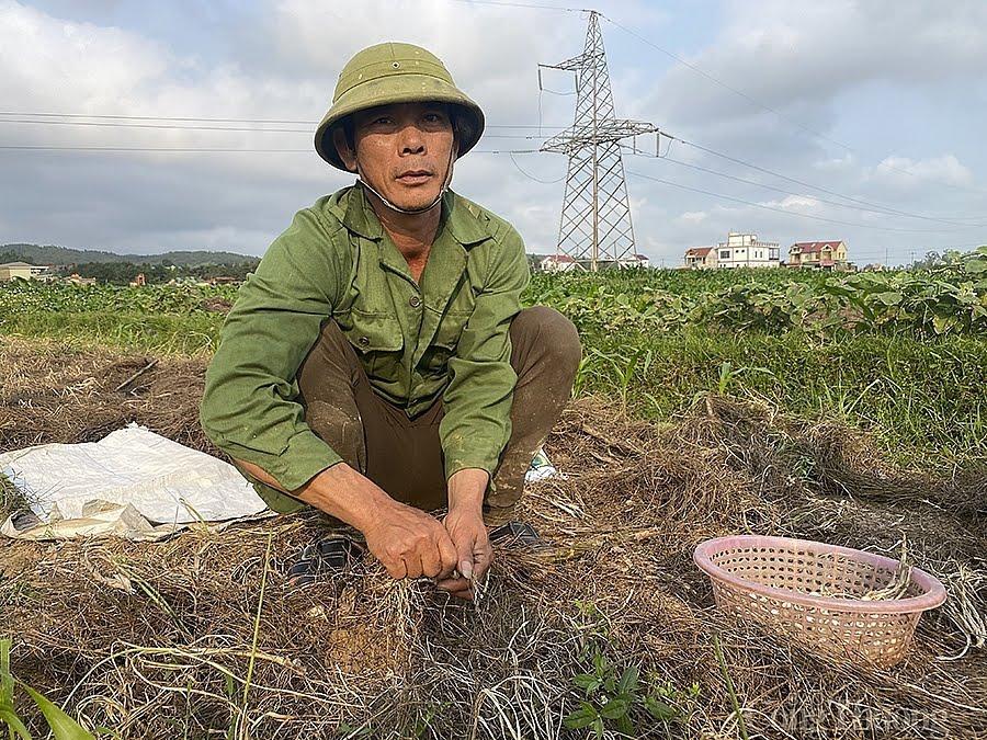 Ông Nguyễn Sỹ Cương chỉ nhổ cầm chừng dù ruộng hành đã đến kỳ phải thu hoạch.