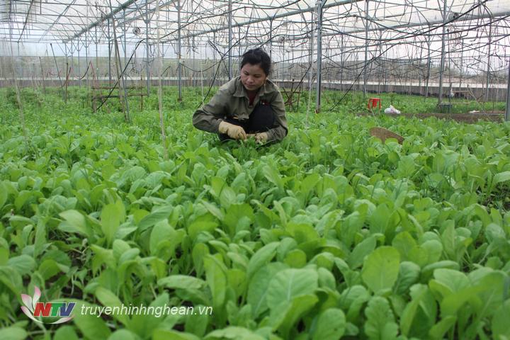 Hiện nay rau cải trong nhà lưới đang trong thời kỳ thu hoạch.