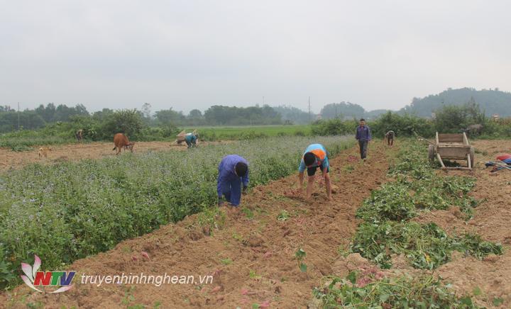 Những ngày này trên các cánh đồng ở vùng Cồn Kè xã Phúc Sơn đang tấp nập người dân thu hoạch khoai lang trên diện tích đất ruộng và đất vệ.