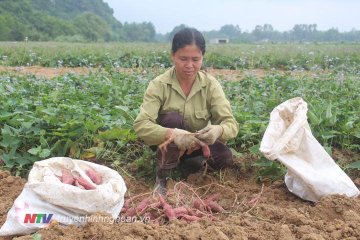 Năm nay gia đình chị Trần Thị Sen trồng 2,5 sào khoai lang, hiện tại đang vào vụ thu hoạch.