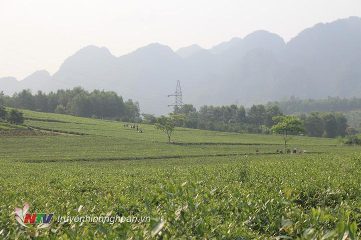 anh 3. Toàn huyện Con Cuông hiện có gaanf400 ha chè kinh doanh.
