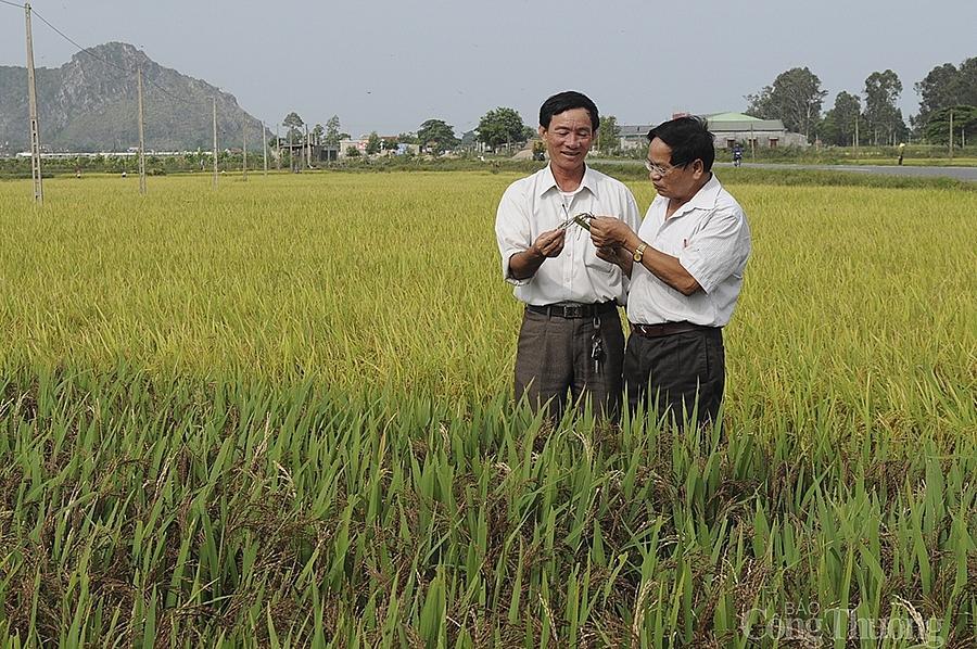 Ông Phan Văn Hòa - Giám đốc Công ty TNHH Khoa học công nghệ Vĩnh Hòa (người đứng bên trái) trên cánh đồng lúa thảo dược