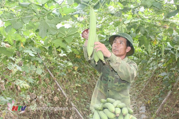 Gia đình anh Nguyễn Văn Quảng ở thôn 4 xã Cẩm Sơn có diện tích 4 sào mướp hương.