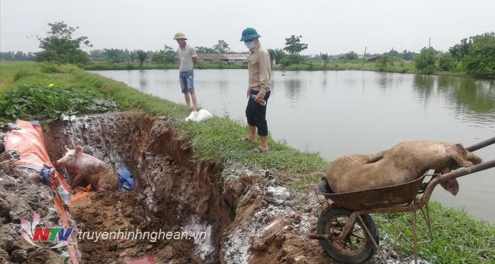 Diễn Châu đã tiêu hủy hơn 32,6 tấn lợn bị dịch tả châu Phi.