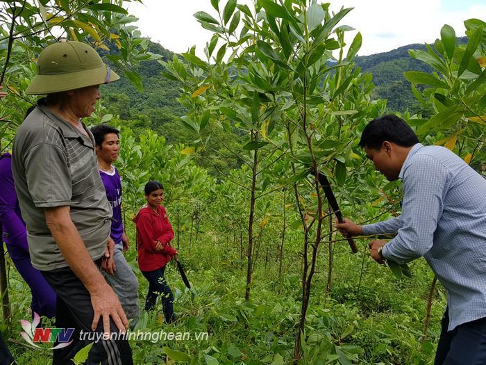 Cán bộ phòng NN&PTNT huyện hướng dẫn kỹ thuật chăm sóc cây keo cho người dân.