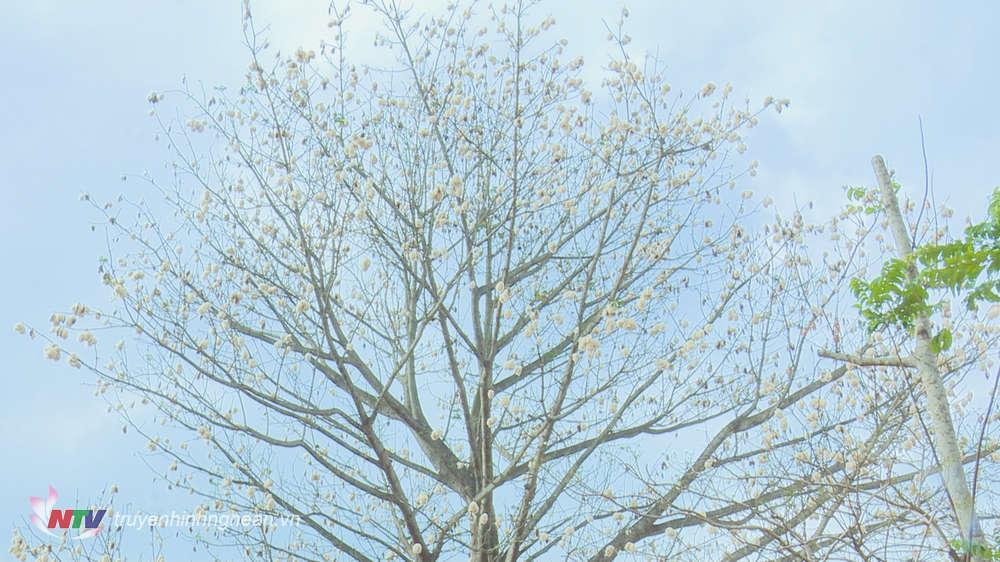 Thời điểm này, cây bông đang mùa quả chín, nở bông, nảy lộc.