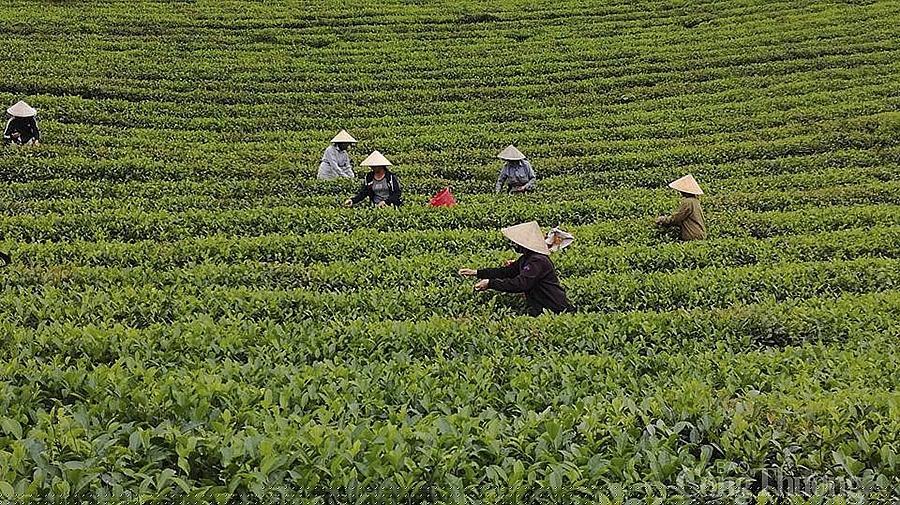 Người dân Hạnh Lâm, Huyện Thanh Chương (Nghệ An) thu hoạch chè.