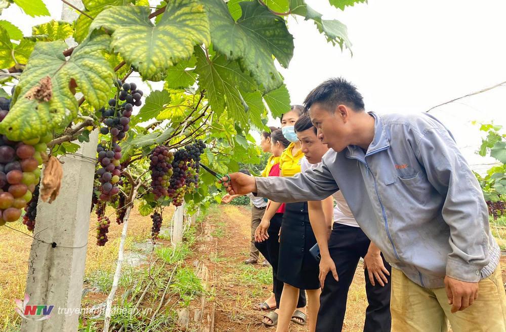 Cán bộ xã Nghĩa Yên tham quan mô hình nho không hạt (nho Hạ Đen) của gia đình anh Lê Văn Chúc ở làng Mới Lập xã Nghĩa Yên.