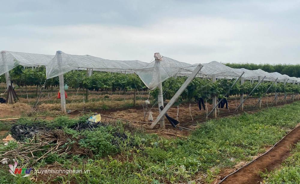 Vườn nho nhà anh được đầu tư căng giàn ngang và giàn hình chữ Y theo dọc luống, anh trồng hàng cách hàng 2,5 - 3m_ cây cách cây 1m.