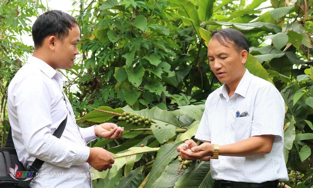 3. ông Hờ Bá Rùa, phó chủ tịch UBND xã Huồi Tụ, cho biết toàn xã có 24,42ha bo bo trồng ở hầu hết các bản trong xã