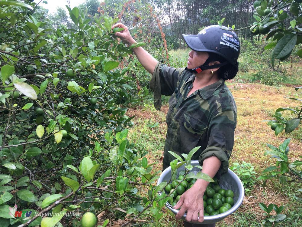 Chị Thái Thị Thu đang thu hoạch chanh ở vườn nhà