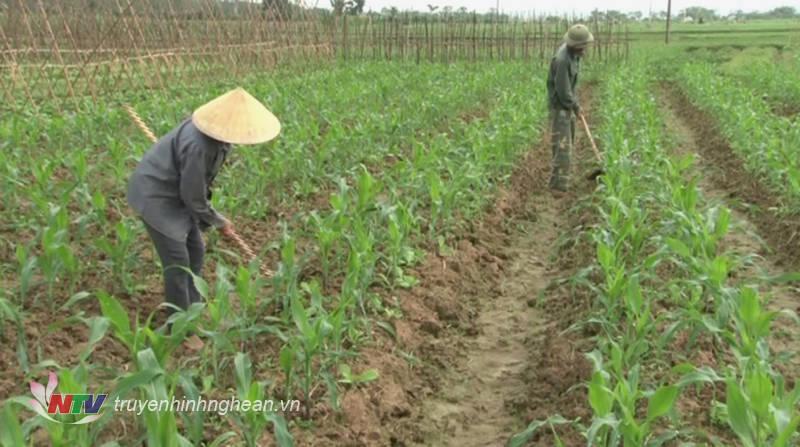 Nông dân Đô Lương chăm sóc cây trồng vụ đông 2018. (Tư liệu)