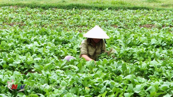 Bà con nông dân vẫn cần mẫn bên những luống rau trong ngày nghỉ lễ.