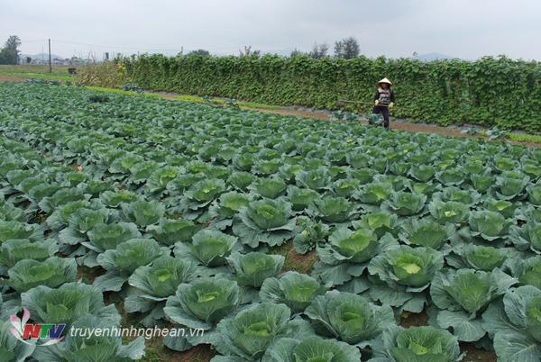 Vùng sản xuất rau an toàn ở Nghi Lộc.