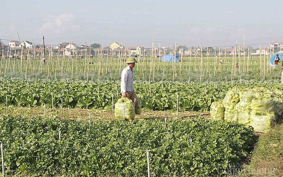 Do ảnh hưởng Covid-19, giá thu mua một số loại nông sản ở Nghệ An đang giảm, việc tiêu thụ cũng không thuận lợi.