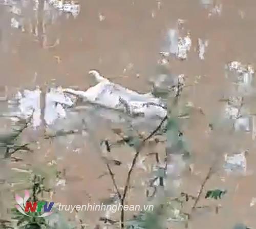 Xác lợn chết trôi lềnh bềnh trên sông Đào, đoạn qua xã Hưng Đạo, huyện Hưng Đạo.