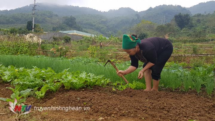 Trồng xen cây ngắn ngày và cây dài ngày cũng là một cách làm mà các hộ trồng rau áp dụng để đáp ứng nhu cầu của thị trường và tăng thu nhập.