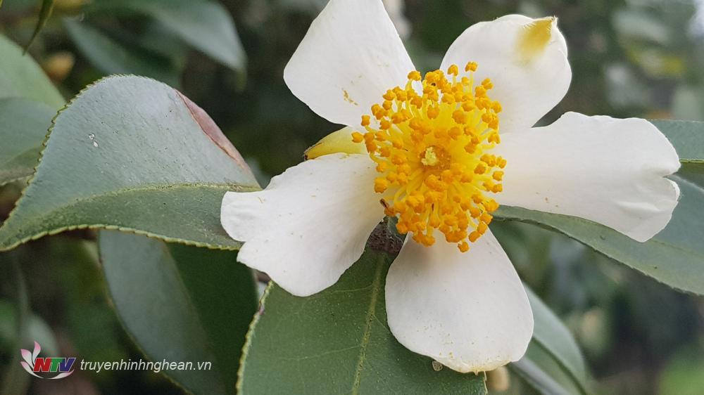 Bông hoa sở giống hoa chè nhưng to hơn, có màu trắng tinh khôi, điểm nhụy vàng, mỗi cây ra rất nhiều hoa.