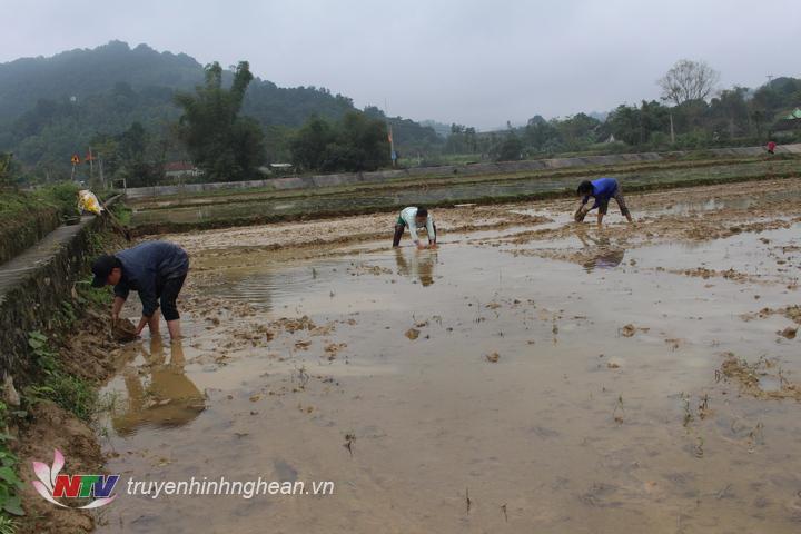 bất chấp giá rét cắt da, cắt thịt, bà con nông dân ở Anh Sơn vẫn phải lội ruộng làm đất, bắc mạ vụ xuân 2019 cho kịp thời vụ.
