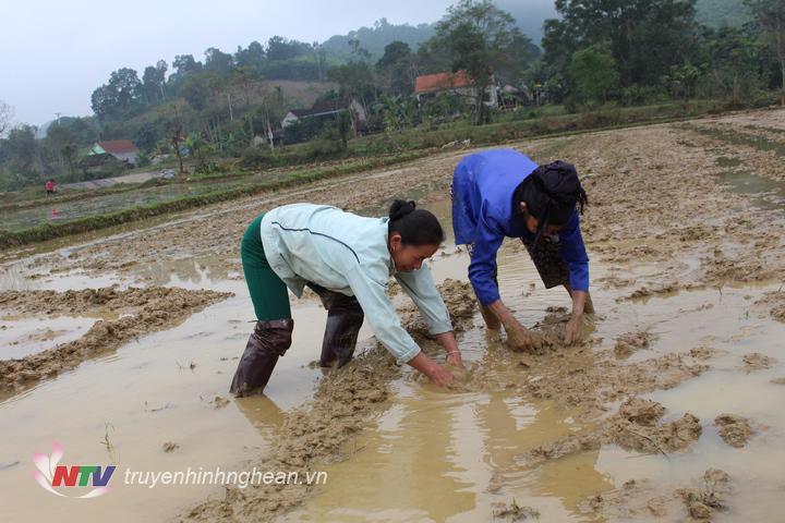Để chống chọi với thời tiết giá rét, bà con đã đắp bờ cao chống nước từ ngoài tràn vào gây ngập úng, hơn nữa giữ được nước trong ruộng cho ấm chân mạ.