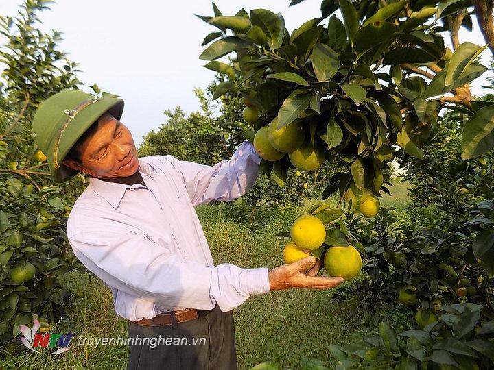 Vườn cam của gia đình ông Hiến xóm Minh Hồ vẫn cho năng suất sản lượng cao.