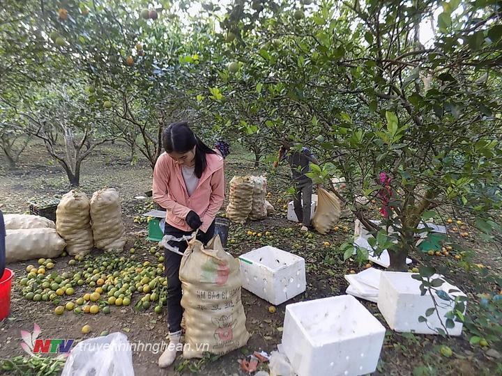 Cam rung tuy có giảm nhưng vẫn còn nhiều gia đình trồng cam ở Quỳ Hợp vẫn bị thiệt hại.JPG
