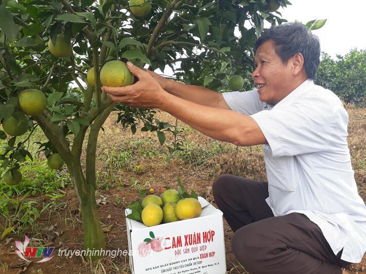 Toàn huyện Quỳ Hợp trông được hơn 50ha cam Vietgap