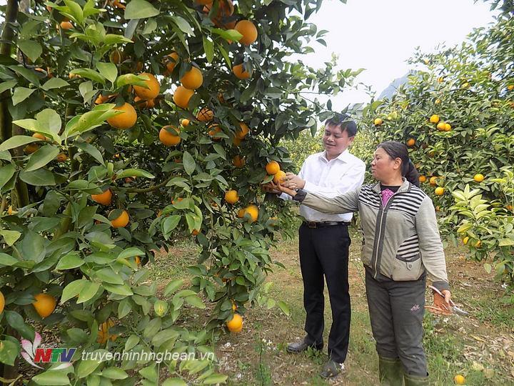 Vườn cam của gia đình ông Hiến xóm Minh Hồ vẫn cho năng suất sản lượng cao
