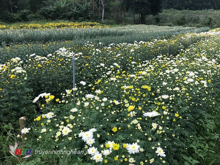 Nhiều vườn hoa cúc đã đẹp, kịp vào vụ tết.