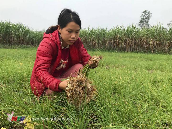 Chị Nguyễn Thị Thu Hiền – Xóm 21 đang choj những cu to để  thu hoạch.