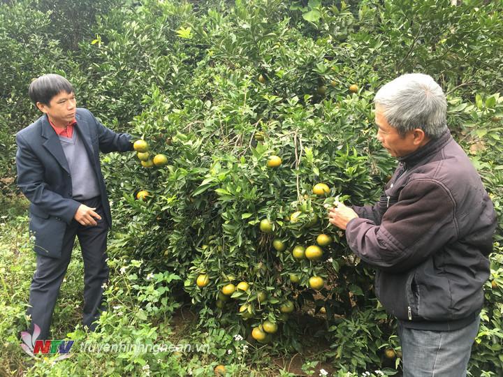 Vườn cam bù Sen trĩu quả