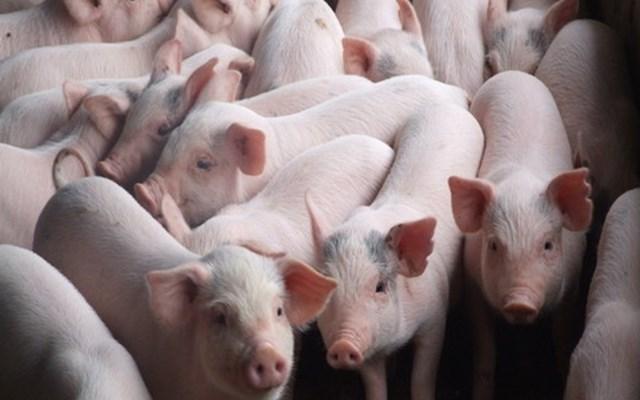 Nghệ An: 325 xã công bố hết dịch tả lợn châu Phi