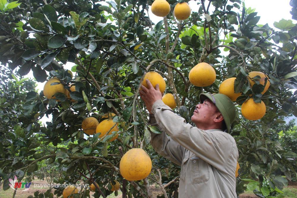 Nông dân Con Cuông tất bật chăm sóc bưởi, quất để cung ứng thị trường Tết Nguyên đán.