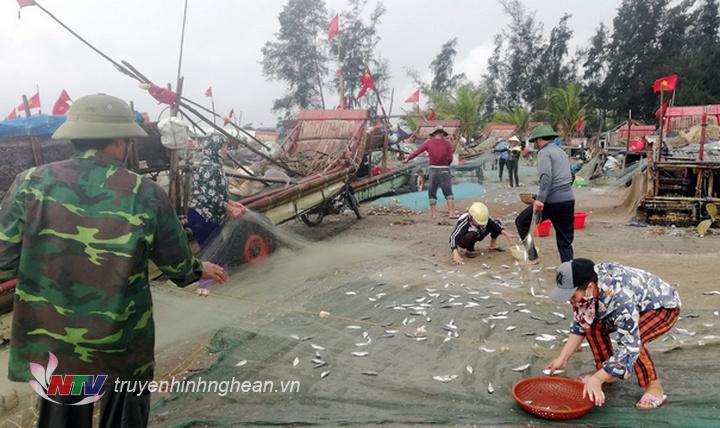 Những mẻ cá trích tươi xanh óng được gỡ khỏi lưới để kịp bán chợ.