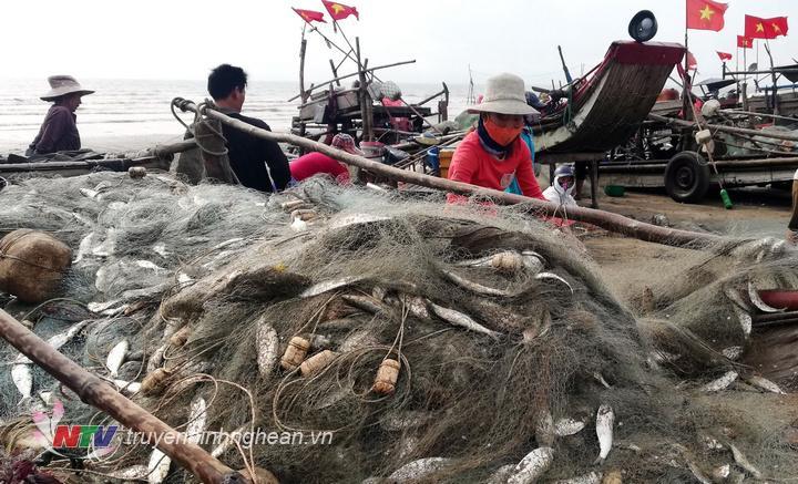 Cùng với những bè sứa khẩn trương nhập cho các chủ cơ sở chế biến, nhiều ngư dân chuyên đánh bắt cá trích cũng tất bật với công việc sau khai thác của mình.
