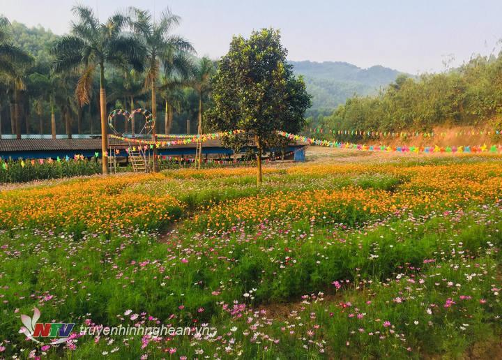 Cánh đồng hoa Cánh bướm trải dài trên diện tích 1ha tại