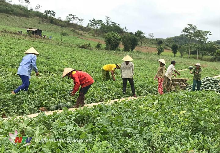 Nông dân xã Nghĩa Yên tập trung thu hoạch dưa hấu.